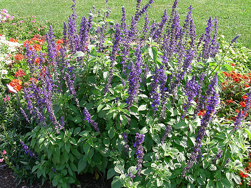 Salvia Mystic Spires Blue - 2007 - Annual Flower Research ...
