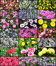 composite of best flowers from 2009 trials