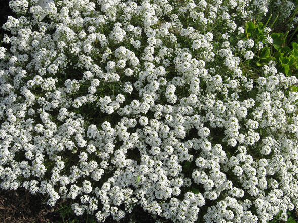 Annual flower trials at bluegrass lane horticulture section 15 aug still amazing a white hedge aggressive still beautiful mass of white still going full of flowers very uniform nice for a white flower mightylinksfo