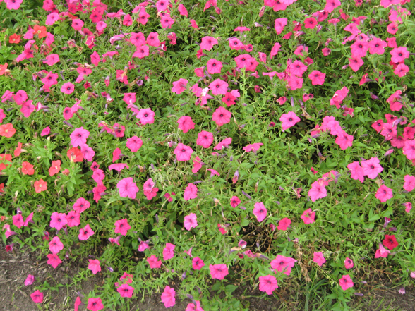 30 Aug A Little Botrytis Starting Still Colorful Thriving Deadhead Mounds Nicely Declining Many Flowers Nice But Not As Full