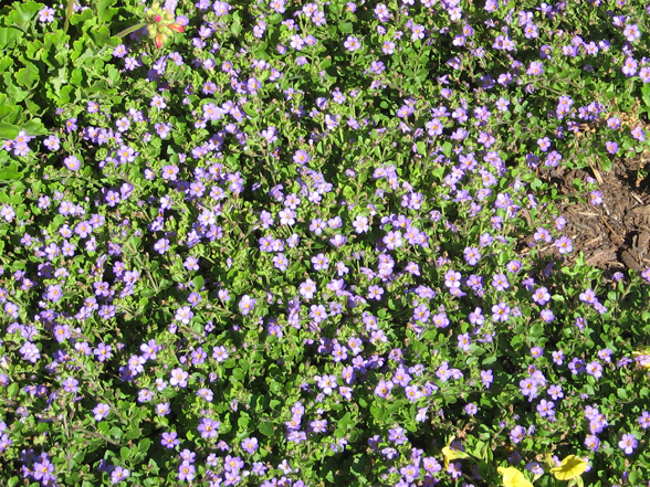 15 July Attracts A Lot Of Bees Not Really Blue Great Leaf Color Nice Shape And Habit Flowers Are Bit Small Uniform Good Ground Cover