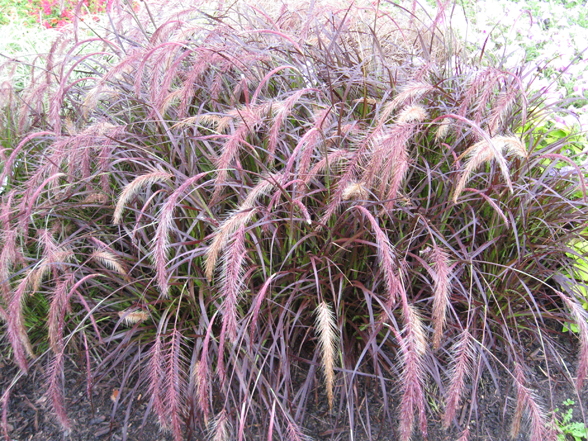 Annual flower trials at bluegrass lane horticulture for Tall grass with purple plumes