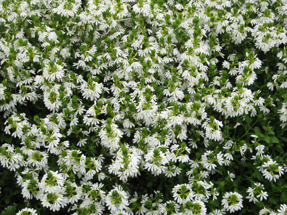 Annual flower trials at bluegrass lane horticulture section 30 july hedge like best scaevola full of flowers full habit impressive great if you want white flowers nice in landscape like flower and foliage mightylinksfo