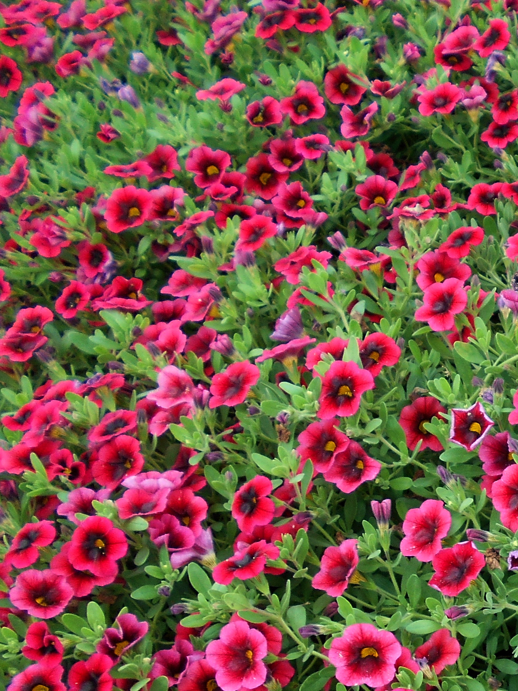 Annual flower trials at bluegrass lane horticulture - Calibrachoa superbells ...