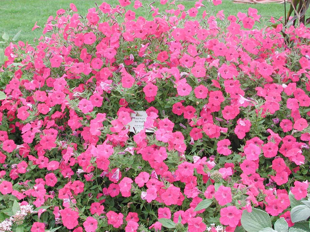 petunia tidal wave hot pink  annual flower research at bluegrass lane, Natural flower