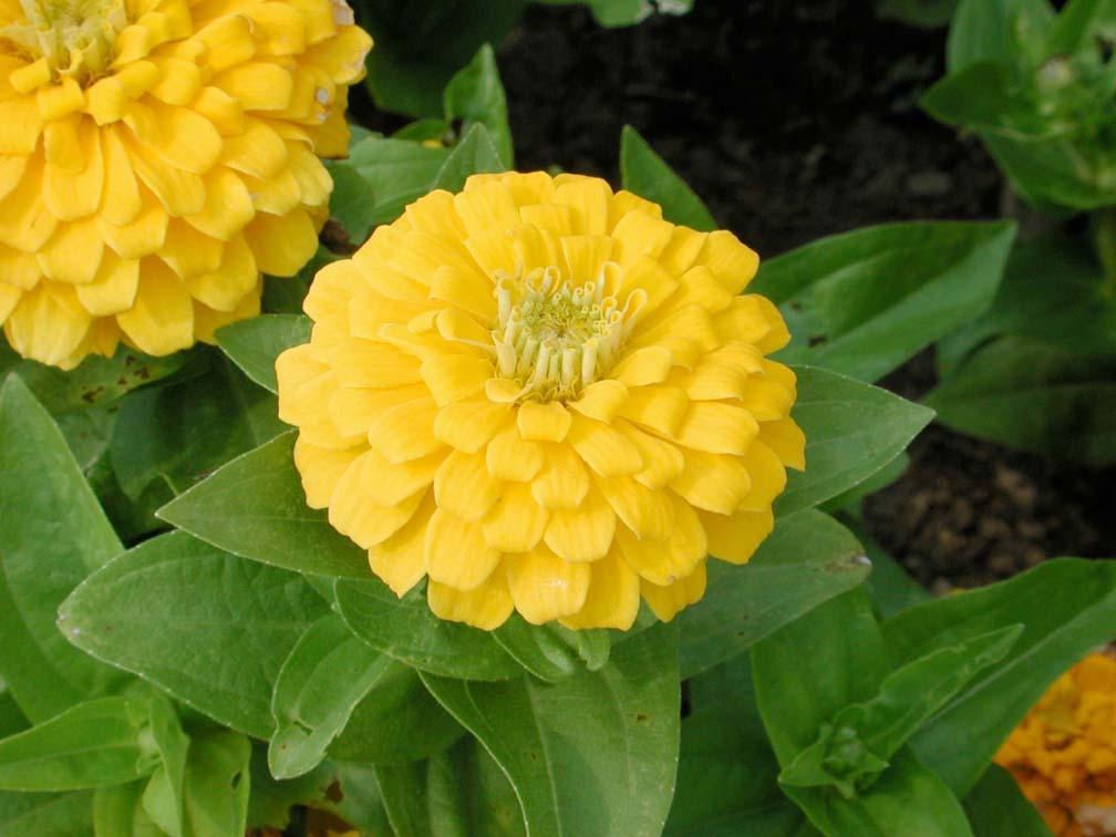 Zinnia magellan yellow annual flower research at bluegrass lane zinnia magellan yellow click for larger image mightylinksfo