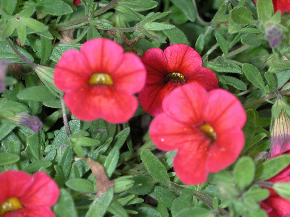 Calibrachoa superbells red annual flower research at - Calibrachoa superbells ...