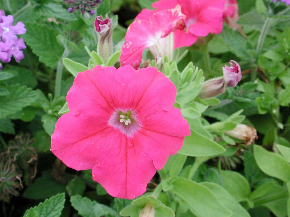 petunia supertunia giant pink  annual flower research at, Natural flower