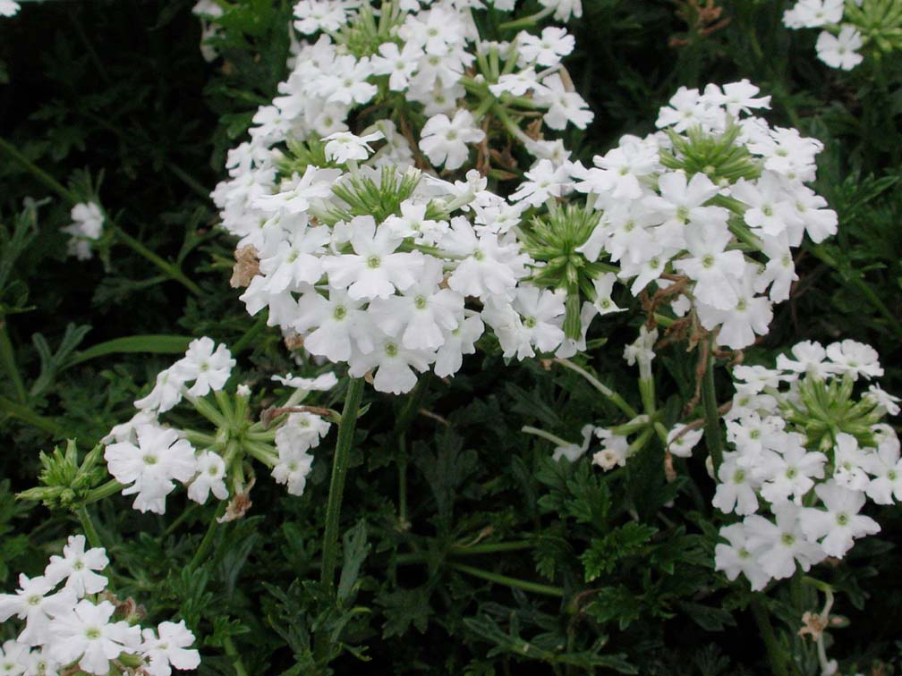 Verbena Babylon White - Annual Flower Research at ...