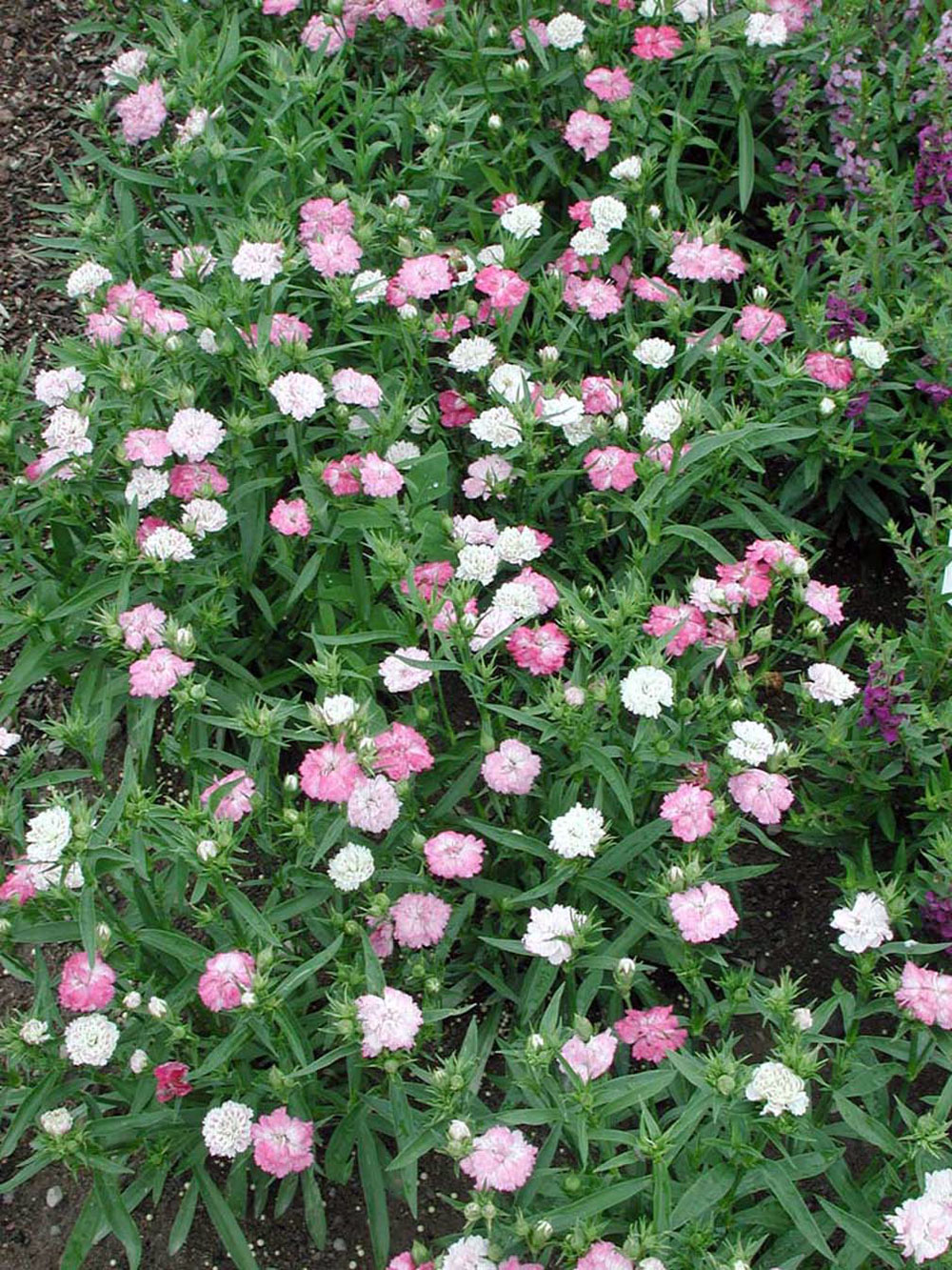 Dianthus Dynasty Pink Magic Annual Flower Research At Bluegrass Lane