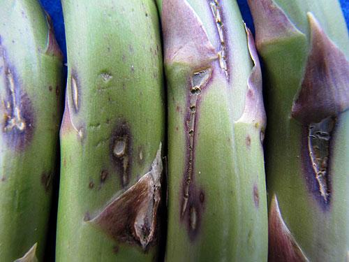 asparagus herbicide injury