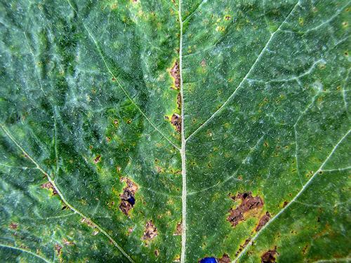 Cercospora leaf spot