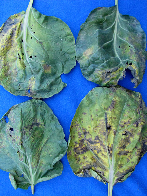 Bacterial Leaf Spot of Cauliflower