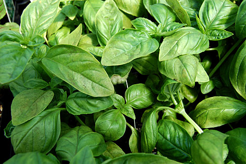 basil downy mildew in commercial crop