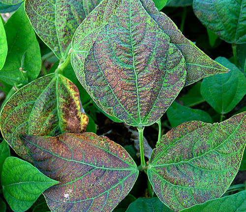 ozone damage on beans