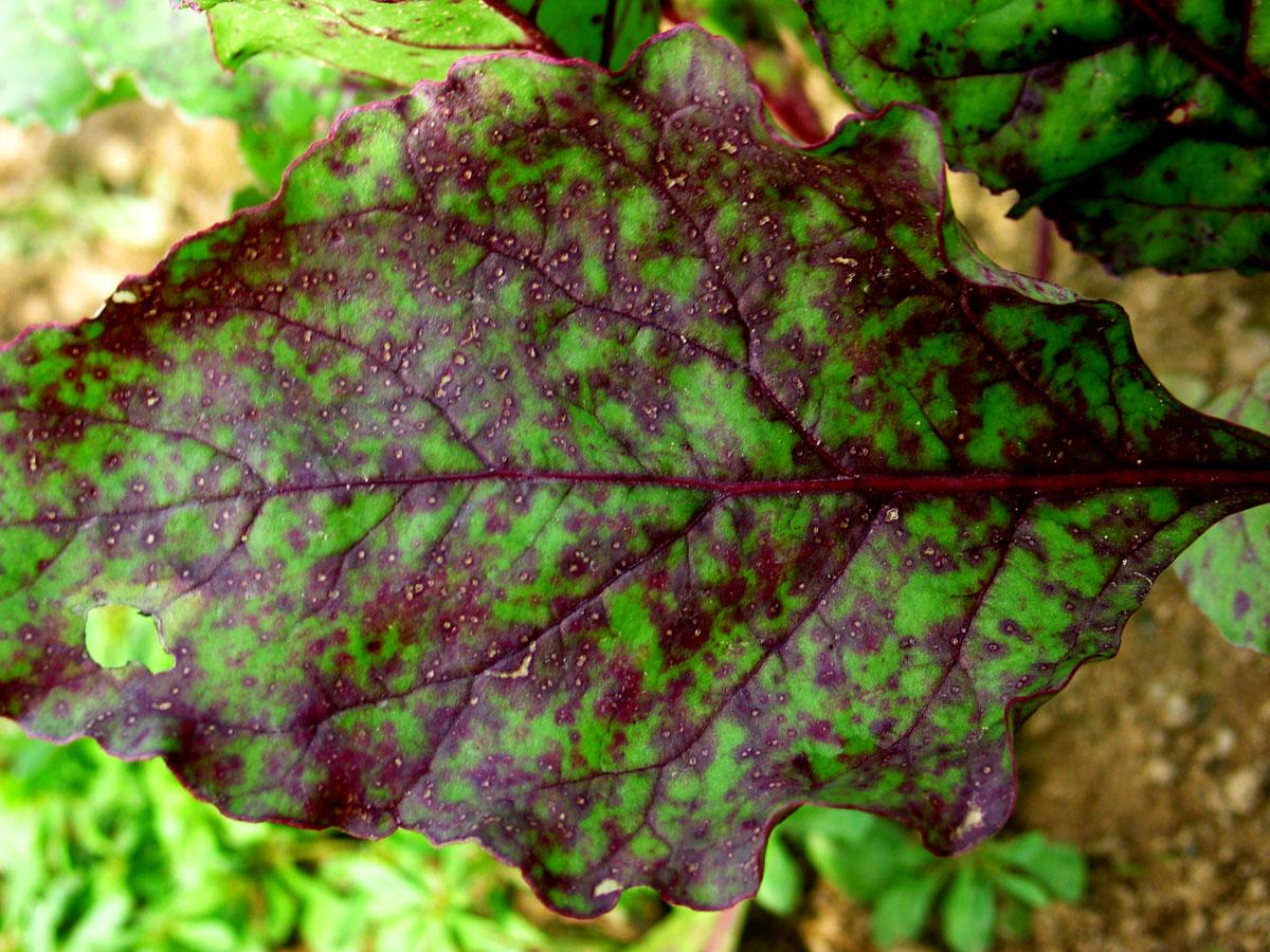 Почему желтеют листья у свеклы фото что делать
