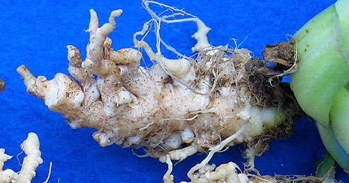 clubroot on bok choy