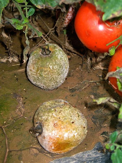 buckeye fruit rot