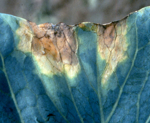 Black rot on cabbage