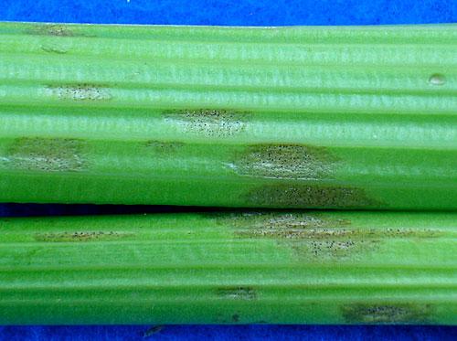 septoria on celery