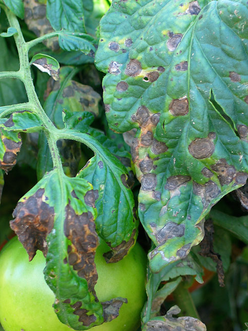 early blight on tomato