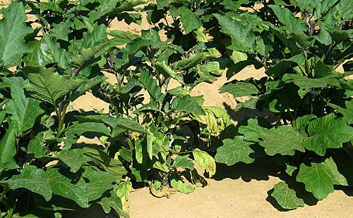 Verticilium wilt of eggplant