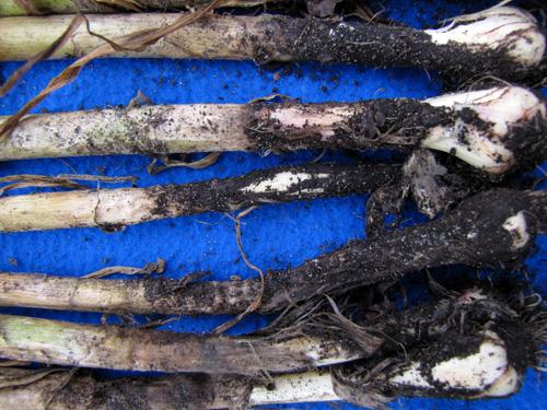 garlic botrytis