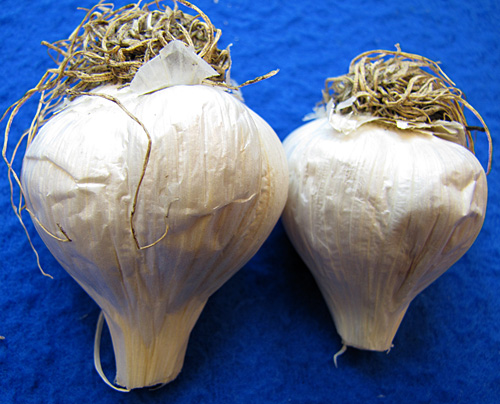 garlic waxy breakdown