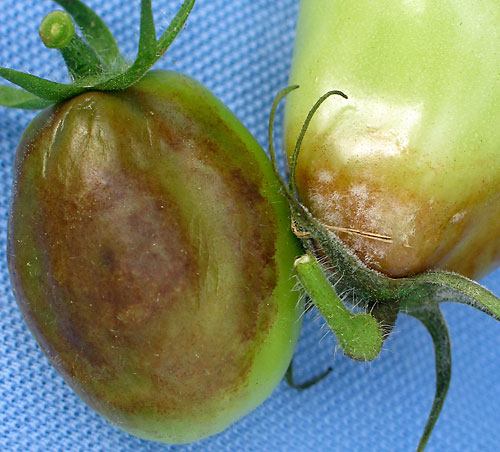 late blight on fruit