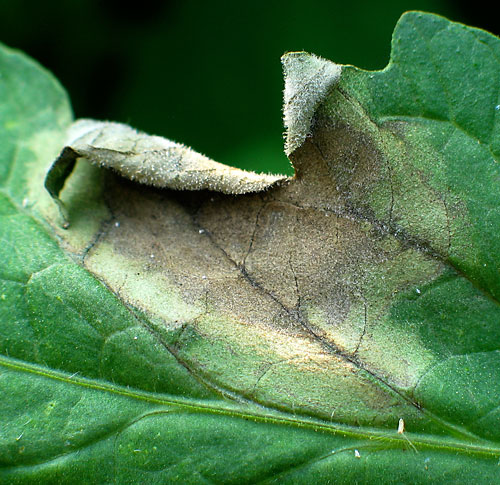 late blight on leaf