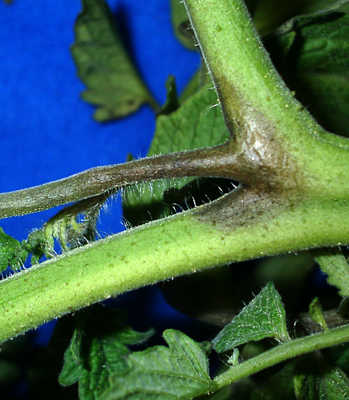 late blight on stem