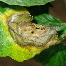 late blight leaf lesions