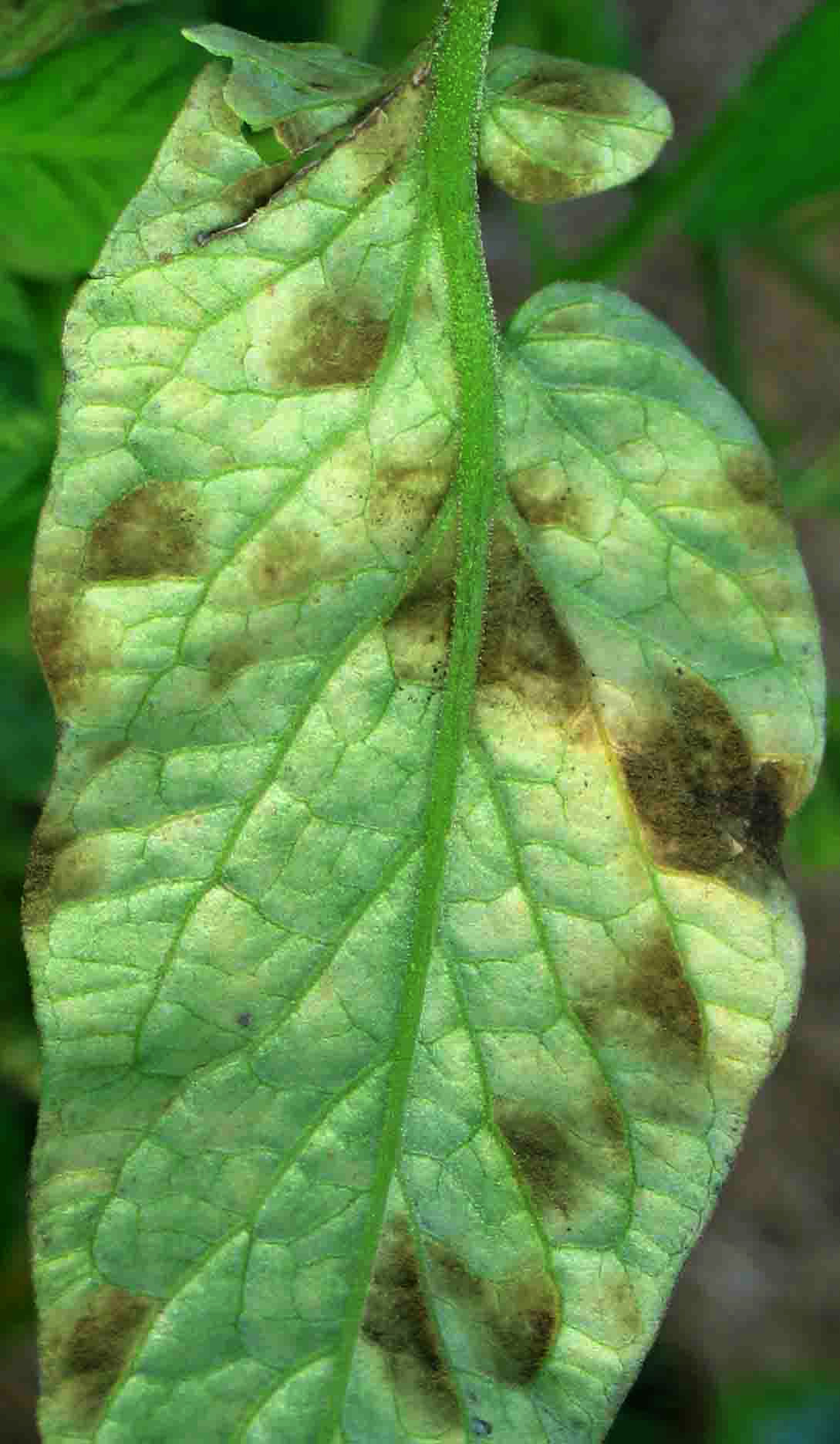 Leaf Mold On Tomatoes