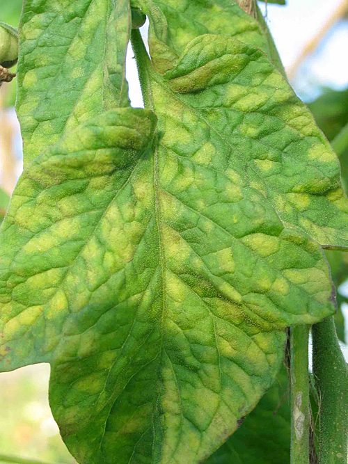 Leaf mold on tomato
