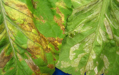 Downy mildew of lettuce