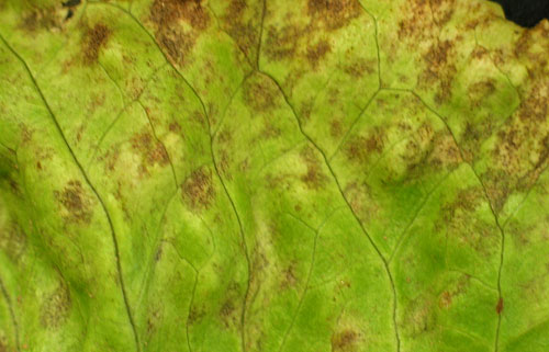 Septoria leaf spot of lettuce