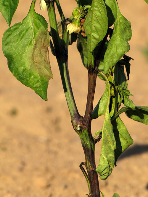 Phytophthera on pepper