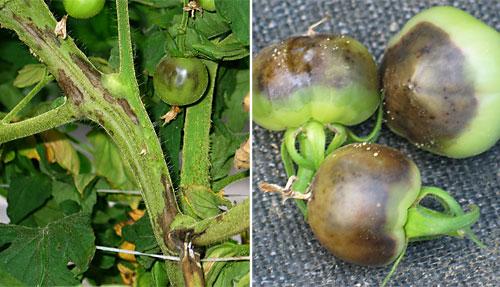 Pith necrosis on tomato