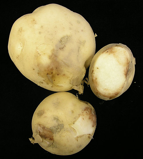 late blight on potato tuber