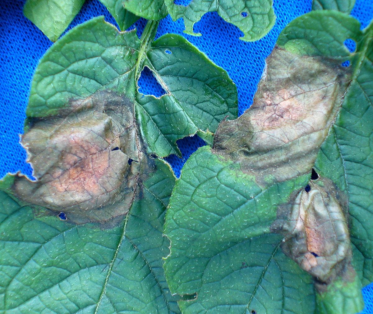 seedling blight symptom on root