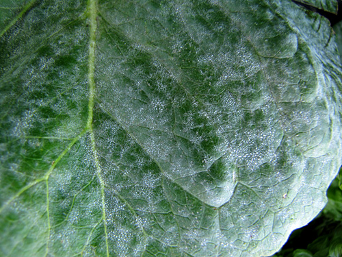 Powdery mildew of Lettuce