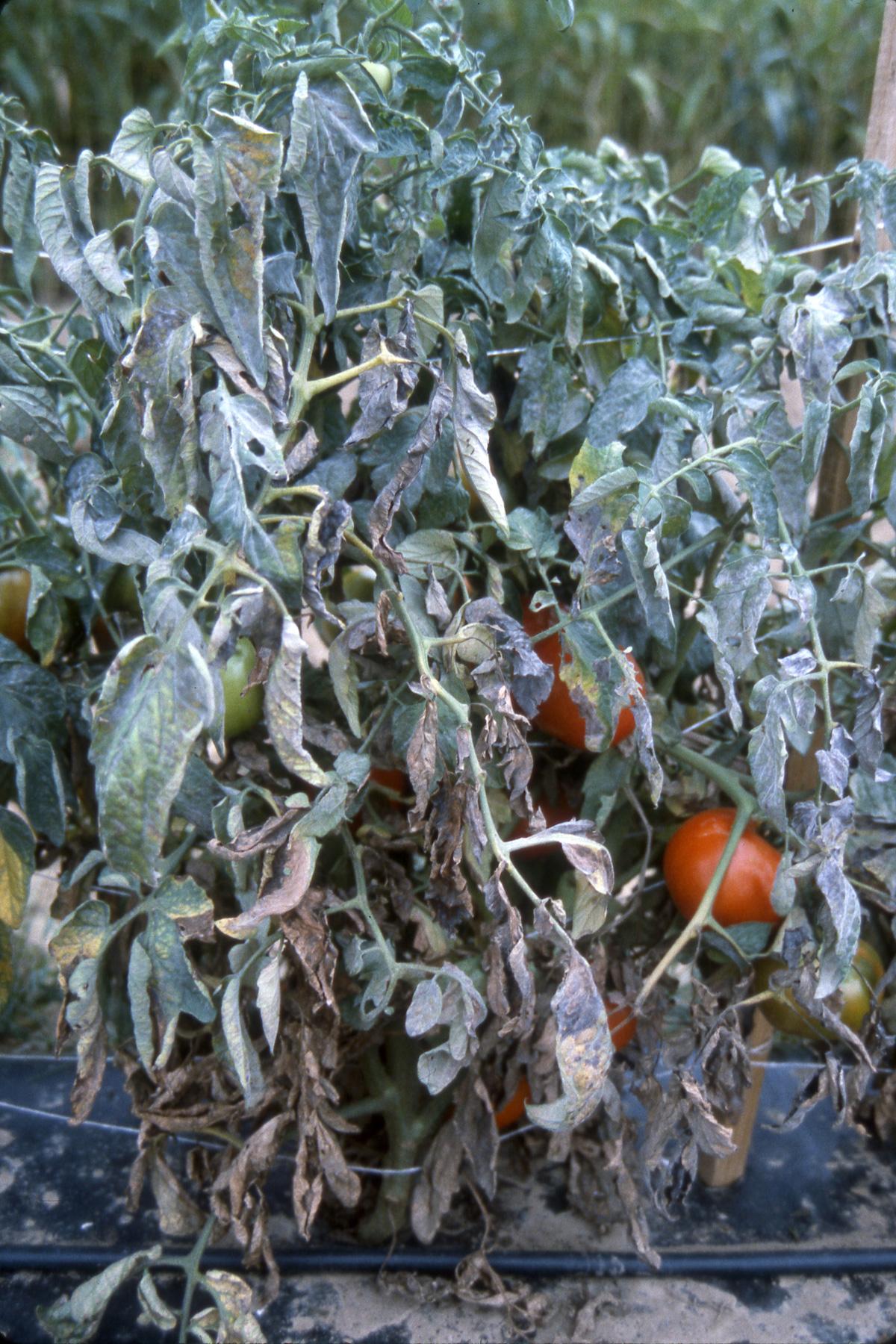 Powdery mildew on tomatoes
