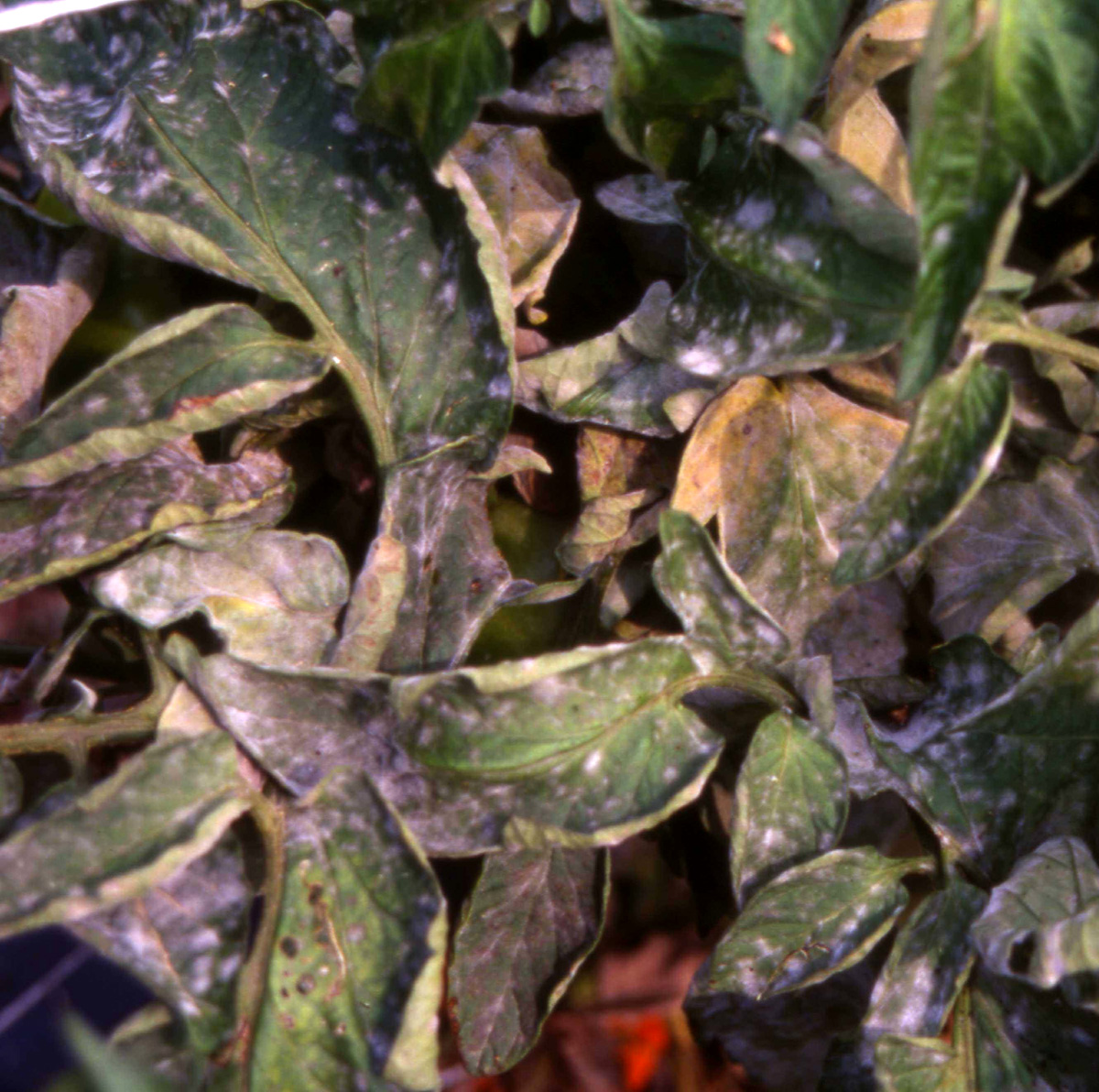 Powdery Mildew On Tomatoes Tomato Plant Diagram Plants And Prefer Of
