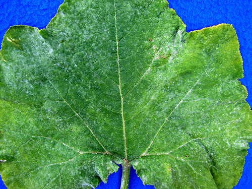 Cucurbit Downy Mildew imitator