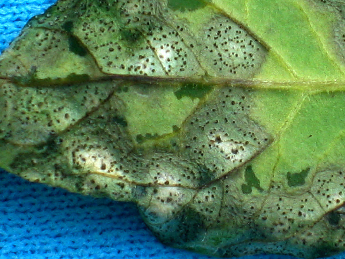 Septoria leaf spot on tomatoes