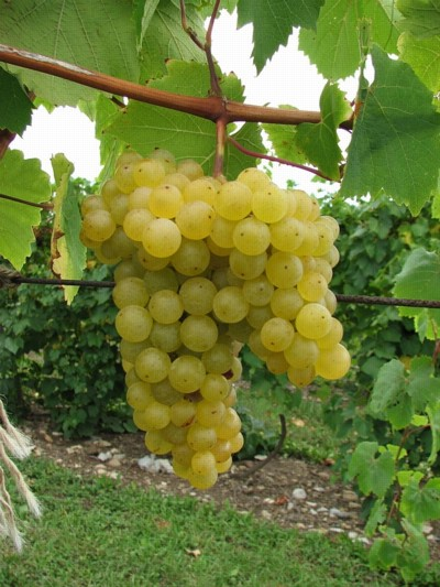 Grape varieties named at the new york state agricultural experiment station geneva ny - Seedless grape cultivars ...