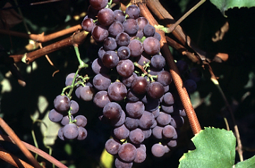 http://www.hort.cornell.edu/reisch/grapegenetics/Varietyphotos/catawba.JPG