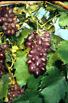 Seedless grapes - Table grapes vs wine grapes ...