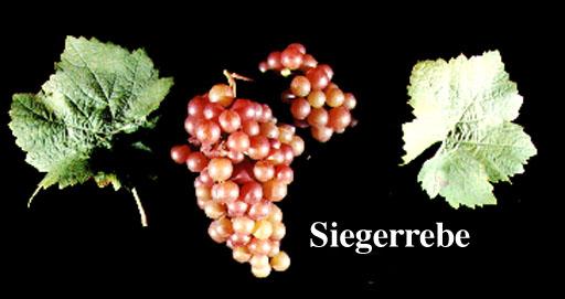 Vitis vinifera varieties